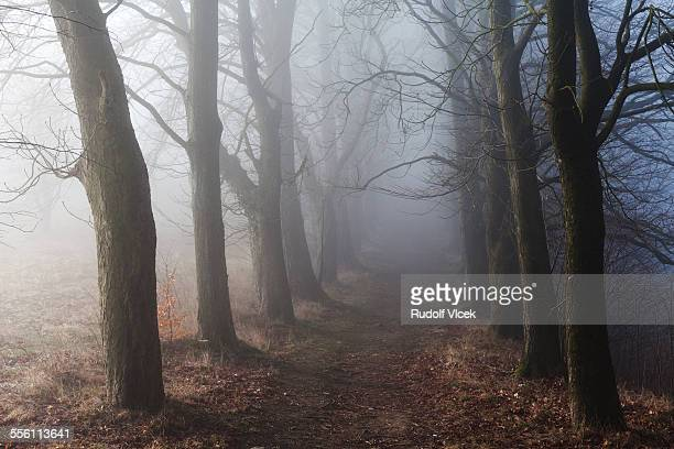 Avenue of bare trees in fog