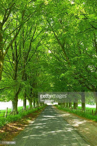 Avenue of beech trees Asthall the Cotswolds Oxfordshire UK