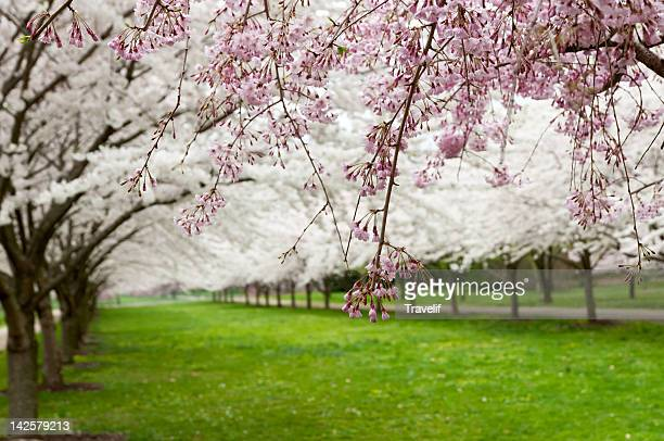 Avenue of blooming cherry trees in a spring garden