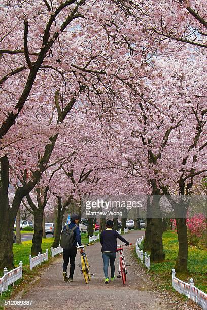 Avenue of Cherry Blossoms