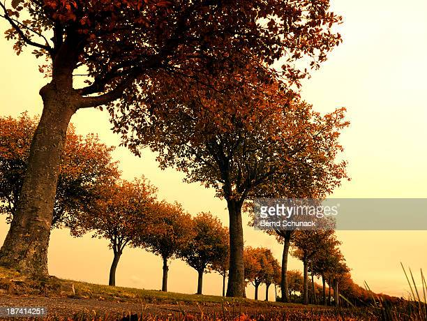 avenue of colorful autumn trees - bernd schunack stock-fotos und bilder