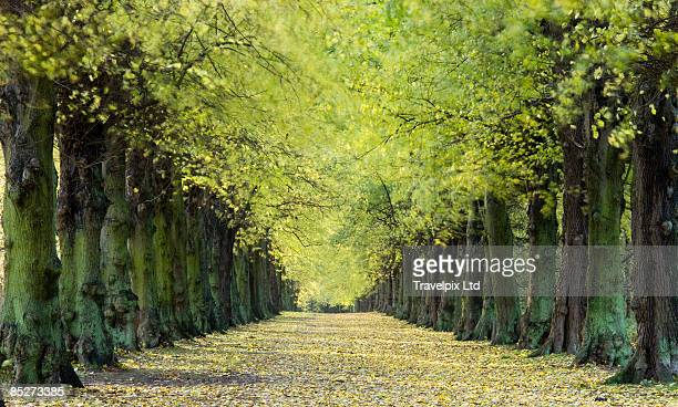 Avenue of Elm Trees