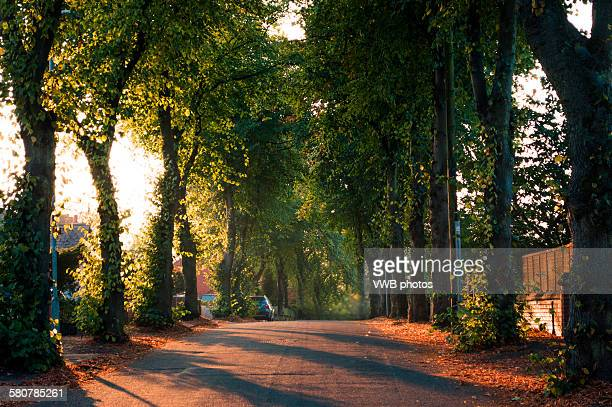 avenue of lime trees at dawn - stoke on trent stock photos and pictures