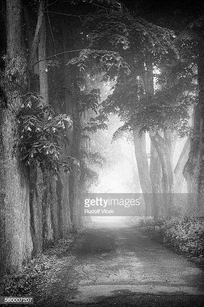 Avenue of lime trees in fog