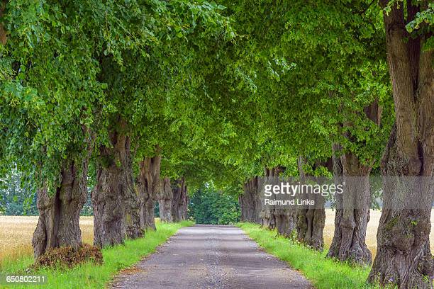 Avenue of Lime Trees in Summer