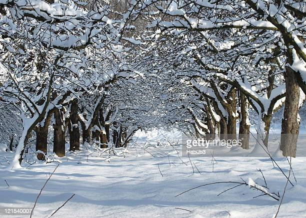 Avenue of snowy apple trees