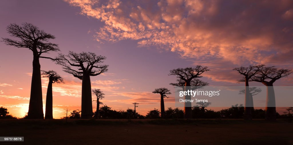 Avenue of the Baobabs, Madagascar : Stock-Foto