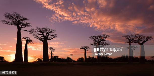 avenue of the baobabs, madagascar - dietmar temps stock photos and pictures