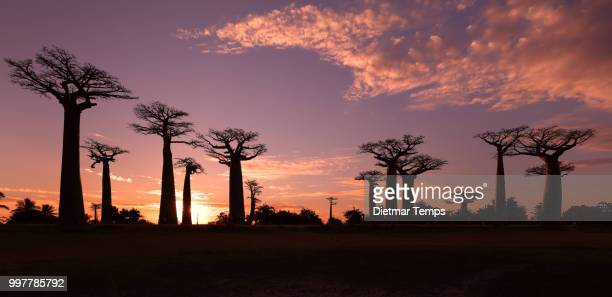 avenue of the baobabs, madagascar - dietmar temps 個照片及圖片檔