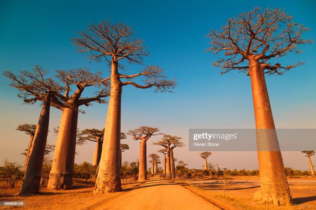 Avenue of the Baobabs : Foto de stock