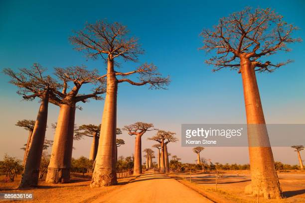 avenue of the baobabs - madagascar stock photos and pictures