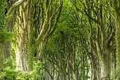 avenue trees edge dartmoor uk