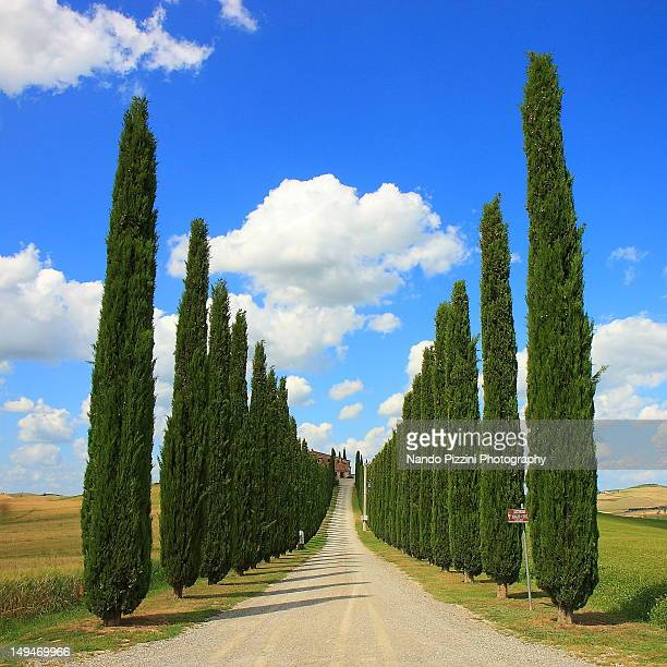 avenue of tuscany - cipresso foto e immagini stock