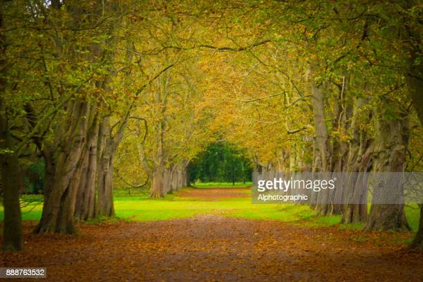 avenue through trees in a formal garden - picture of a buckeye tree stock photos and pictures
