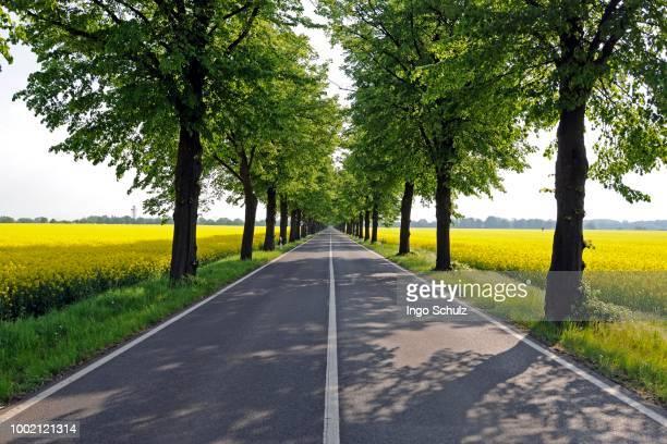 Avenue under linden trees (Tilia), Brandenburg, Germany