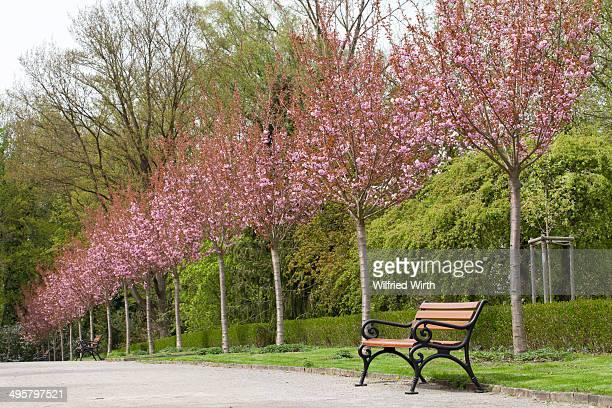 Avenue with flowering Japanese cherry trees, Rombergpark, Dortmund, Ruhr district, North Rhine-Westphalia, Germany