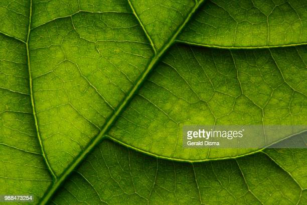 avocado leaf - photosynthesis stock photos and pictures