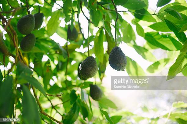 Avocado pear tree