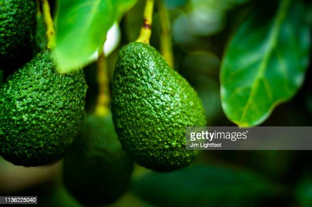 avocado - avocado stock pictures, royalty-free photos & images