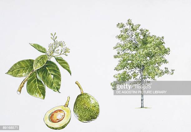 avocado plant with flower leaf and fruit illustration