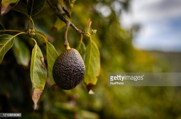 Avocado season has arrived for harvest in Temecula CA USA California farms produce 90% of all USgrown avocados much from orchards in the Temecula...