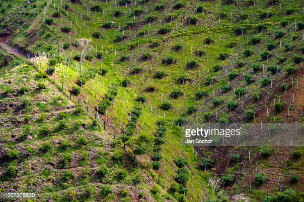 Avocado trees are seen growing at a plantation on October 23 2019 on the mountainside near Medellín Colombia Colombian avocado industry has...