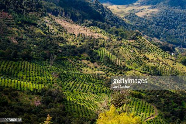 Avocado trees are seen growing at various plantations on October 16 2019 on the mountainside near Medellín Colombia Colombian avocado industry has...