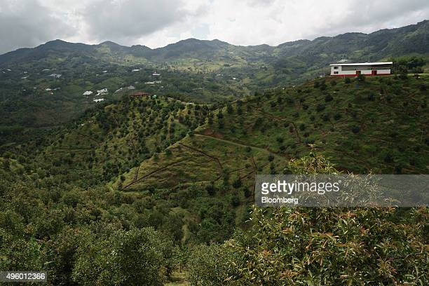 Avocado trees stand at the Finca Los Abuelos plantation in El Penol Colombia on Thursday Oct 22 2015 Colombian Hass avocado exports to the European...