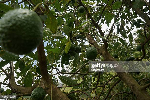 Avocados hang from a tree at the Finca Los Abuelos plantation in El Penol Colombia on Thursday Oct 22 2015 Colombian Hass avocado exports to the...