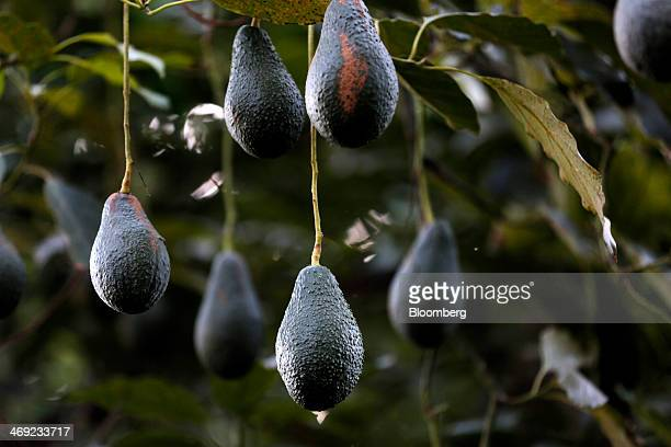 Avocados hang from a tree during harvest at Stehly Farms Organics in Valley Center California US on Tuesday Feb 11 2014 California the country's...
