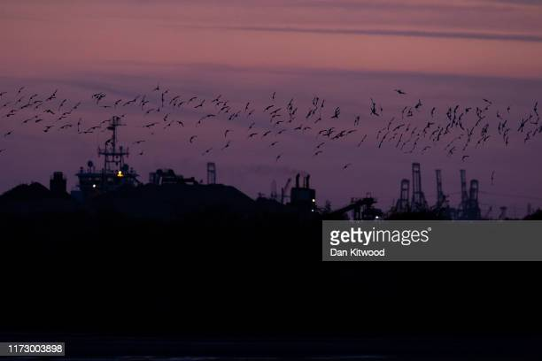 Avocet come in to roost at the RSPB's Cliffe Pools reserve at sunset on September 07 2019 in Cliffe England In Autumn and Winter much of the UK's...