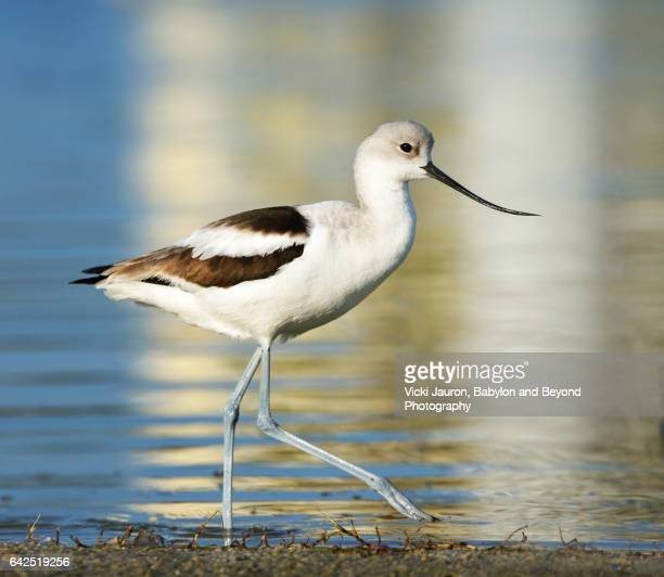 Avocet (Recurvirostra) Walking Along Waters Edge at Fort Myers Beach