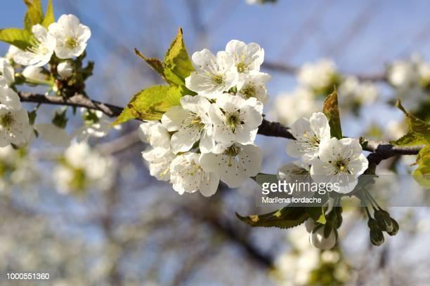 awaiting spring (2) - ciruela fotografías e imágenes de stock