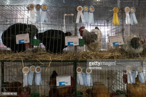 Awardwinning chickens stand in cages at the avian pavilion during La Exposicion Rural agricultural and livestock show in the Palermo neighborhood of...