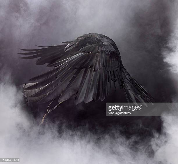 awesome black raven - raven bird stock photos and pictures