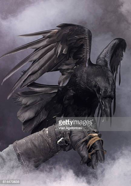 awesome black raven - ravens stock photos and pictures
