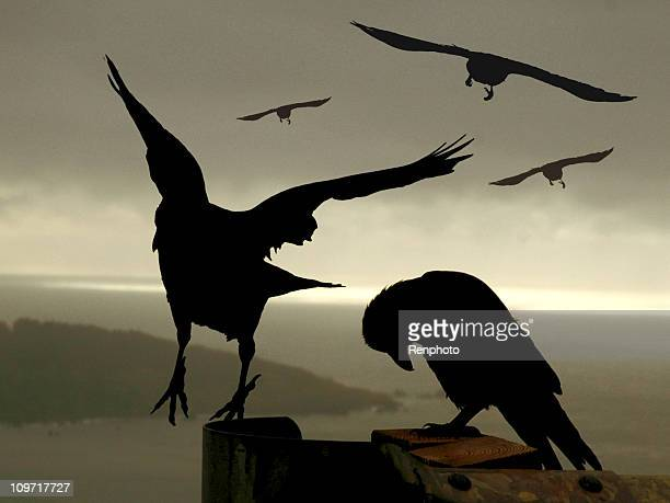 awesome crows - raven bird stock photos and pictures