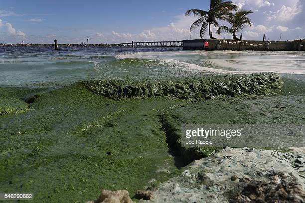 Awful smelling algae is seen along the St Lucie River on July 11 2016 in Stuart Florida The algae which is thought to be coming from from Lake...