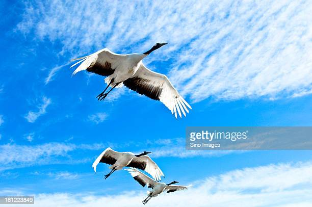 awing cranes under blue sky - japanese crane stock pictures, royalty-free photos & images