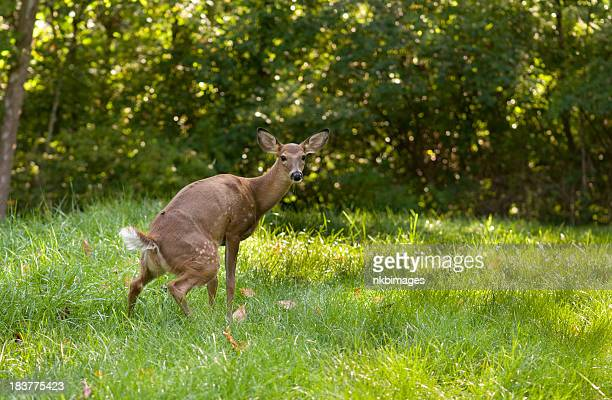 awkward moment for a fawn (baby deer) - urinating stock pictures, royalty-free photos & images