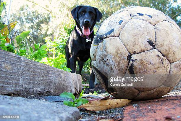 awkward pet portraits - black labrador stock pictures, royalty-free photos & images