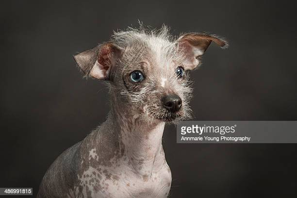 awkward pet portraits - chinese crested dog stock photos and pictures