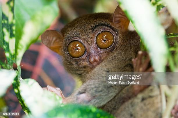 awkward pet portraits - tarsier stock photos and pictures