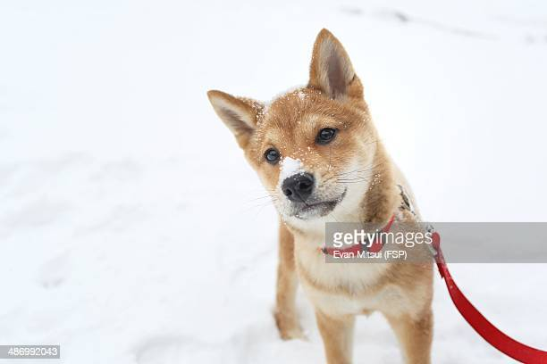 awkward pet portraits - shiba inu winter stock pictures, royalty-free photos & images