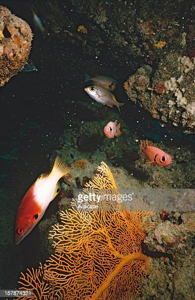 Axilspot hogfish and Redorange squirrelfish Great Barrier Reef Queensland Australia
