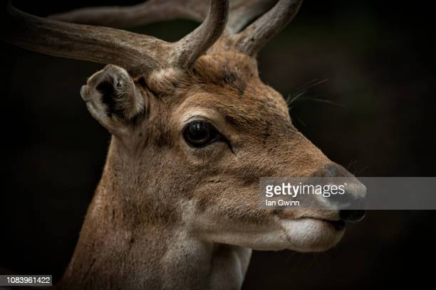 axis deer - ian gwinn stock photos and pictures
