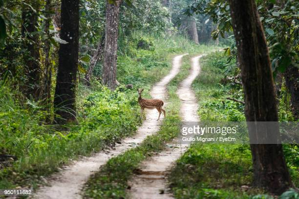 Axis Deer Standing Amidst Forest