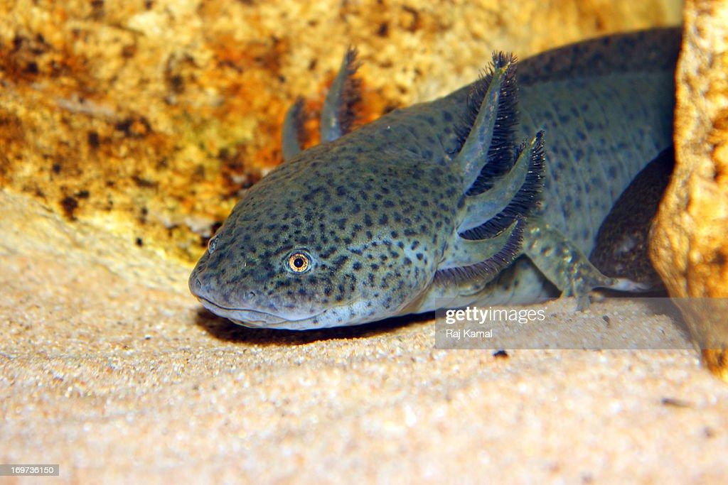 Axolotl. Endangered. Ambystoma mexicanum.Mexico : Foto de stock