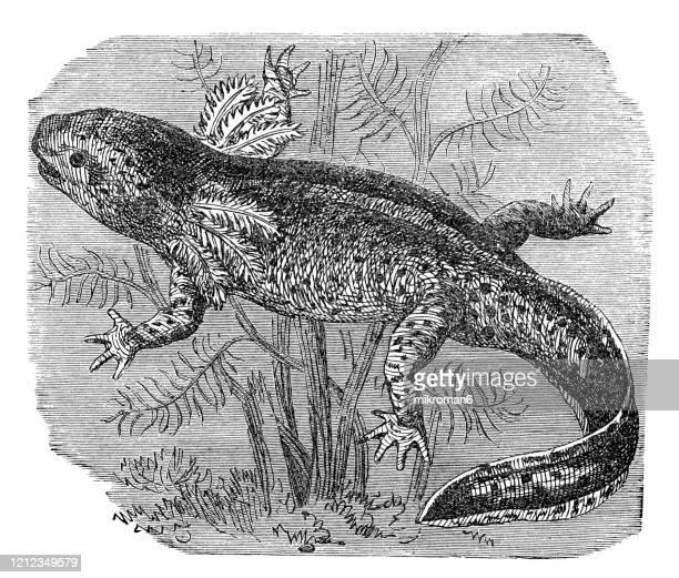 axolotl (larval stage) - species, classification of batrachians and other amphibia - osseous fishes. antique illustration, published 1894 - sapo do suriname imagens e fotografias de stock