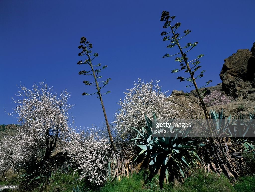 Ayacata tejeda gran canaria canary islands spain almond trees ayacata tejeda gran canaria canary islands spain almond trees with izmirmasajfo